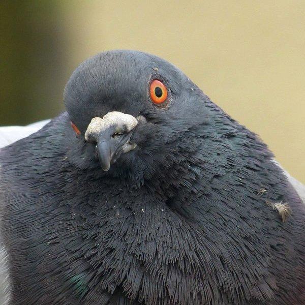 Наука, исследование, медицина, болезнь, организм человека, здоровье, Учёные научили голубей выявлять рак